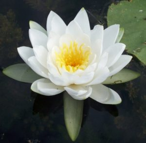 White water lily and lily pad on water ** Note: Visible grain at 100%, best at smaller sizes